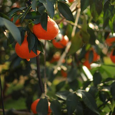 红美人柑橘