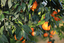 红美人柑橘如何保证果实高品质,施肥的时间有技巧